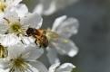 Andrenid on Cherry blossom